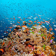 The Great Barrier Reef Fish swimming.