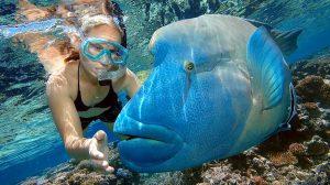 Maori Wrasse at Moore Reef Cairns Australia.