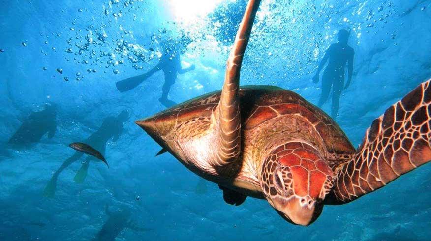 Snorkeling with sea turtle agincourt reef Australia.